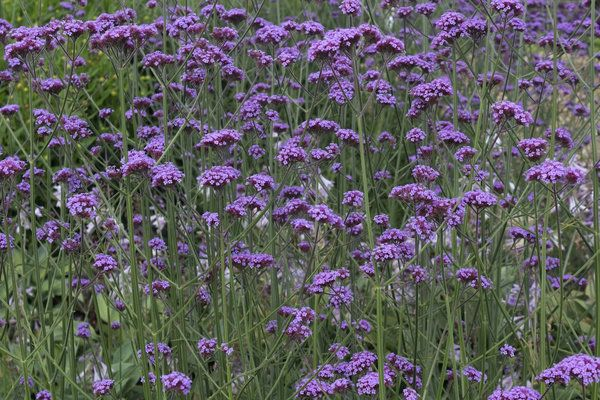 Tall flowering plants slender purple flowers verbena bonariensis tall flowering plants slender purple flowers verbena bonariensis mightylinksfo