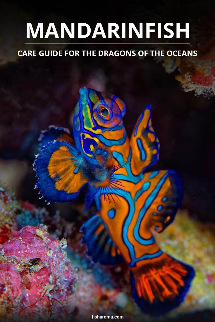 Mandarinfish Care Guide For The Dragons Of The Oceans Saltwater Aquarium Fish Saltwater Fish Tanks Saltwater Aquarium Beginner