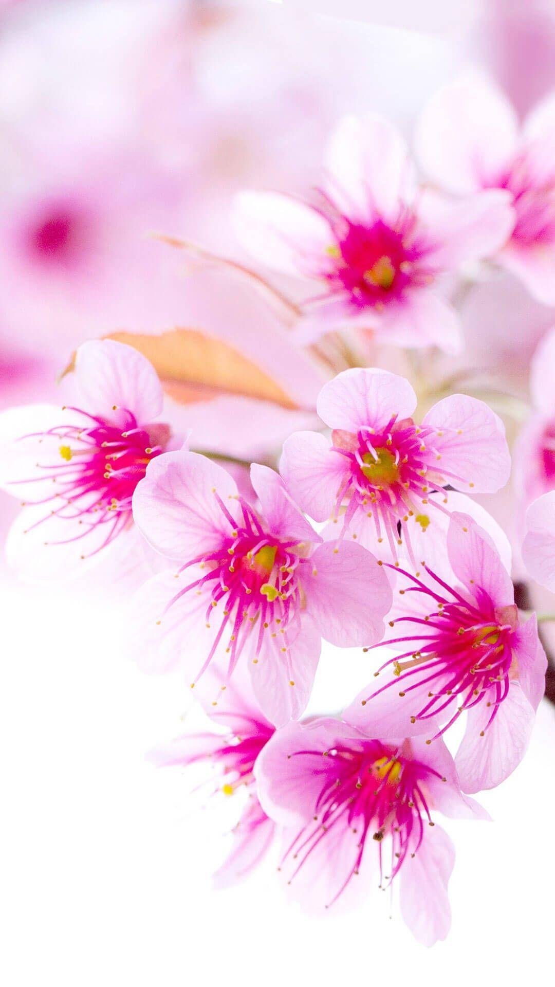 9 Amazing Cherry Blossom Iphone Wallpaper 4K in 2020
