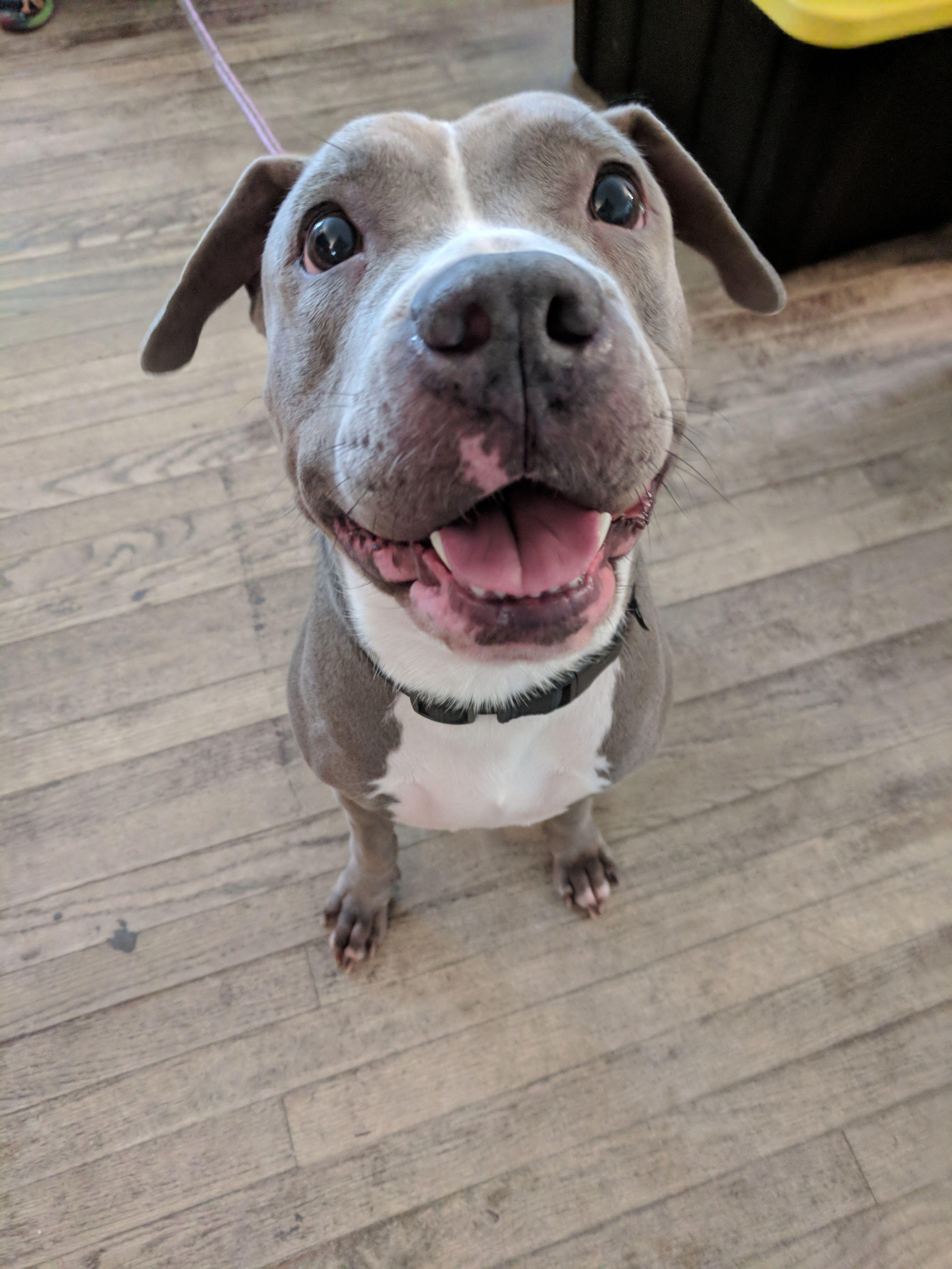 Adopt Gemma On Pitbull Terrier Pitbull Terrier Puppies Bull