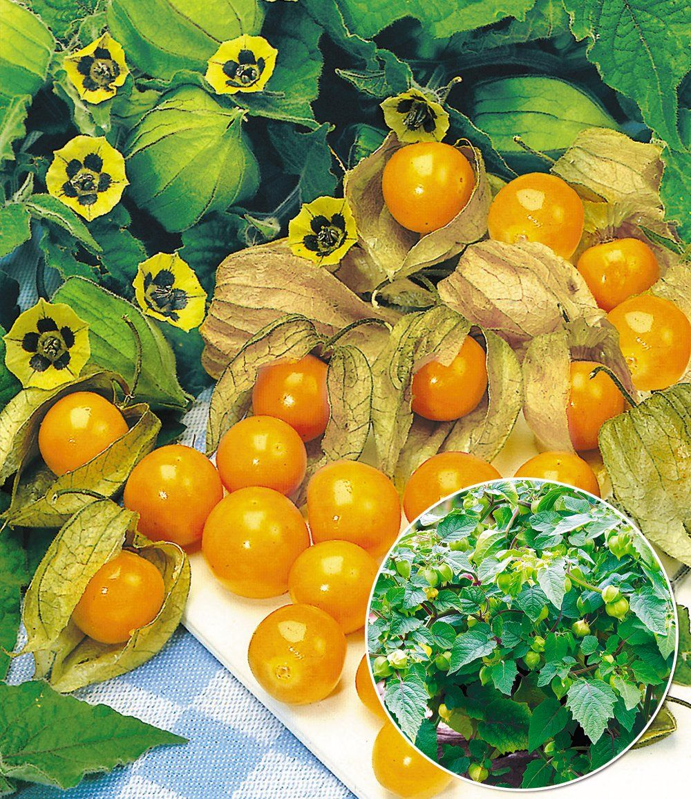 physalis 39 preciosa 39 pflanzen pinterest pflanzen obst und gem se. Black Bedroom Furniture Sets. Home Design Ideas