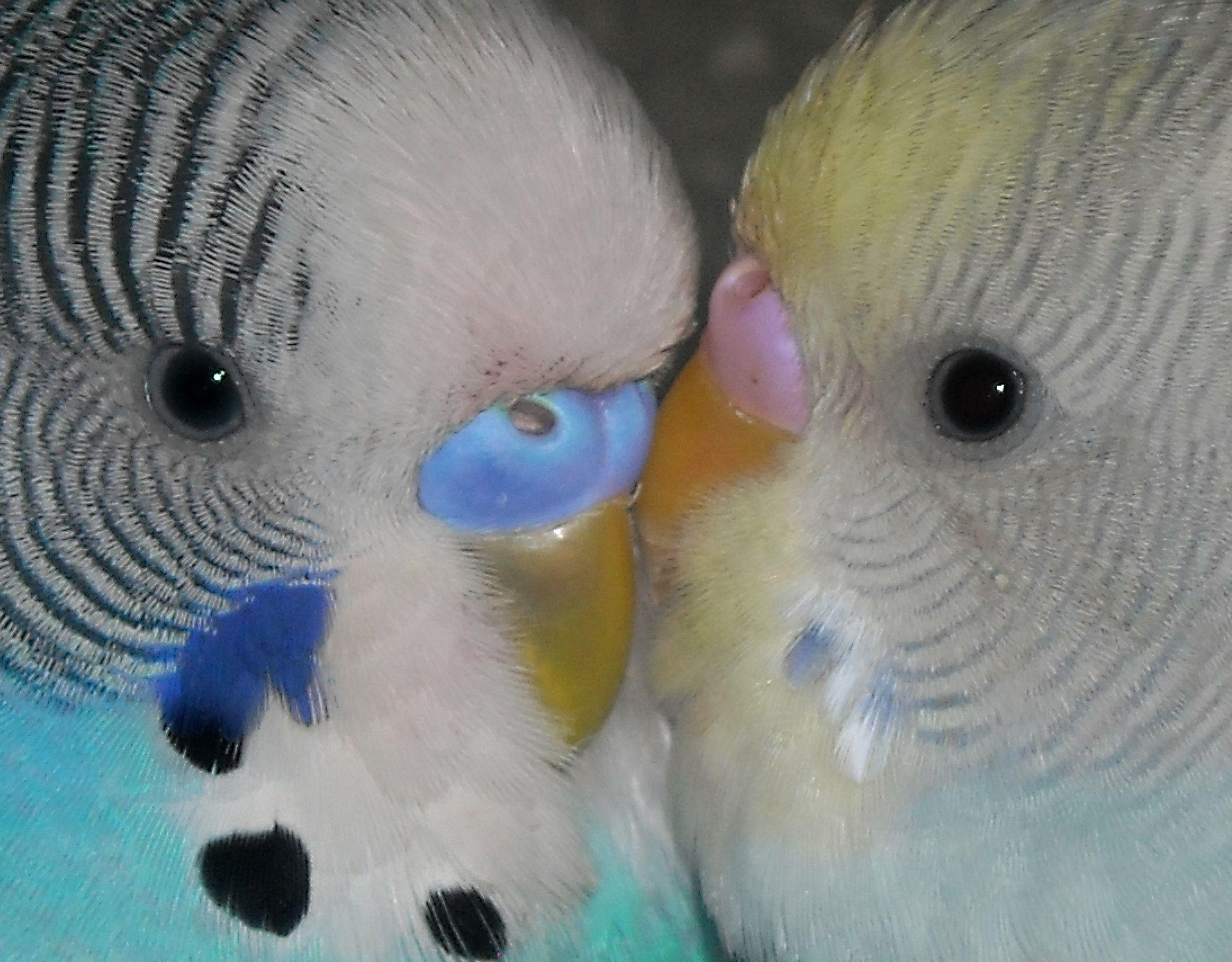 White Baby Parakeet Blue and White Female ...