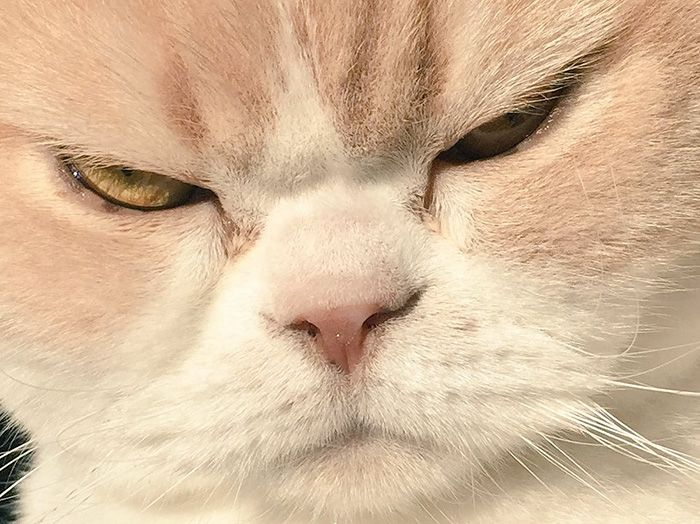 Gata Com Ar De Brava Está A Conquistar Os Corações Dos Internautas - Meet the japanese cat that might just be the grumpiest kitty ever