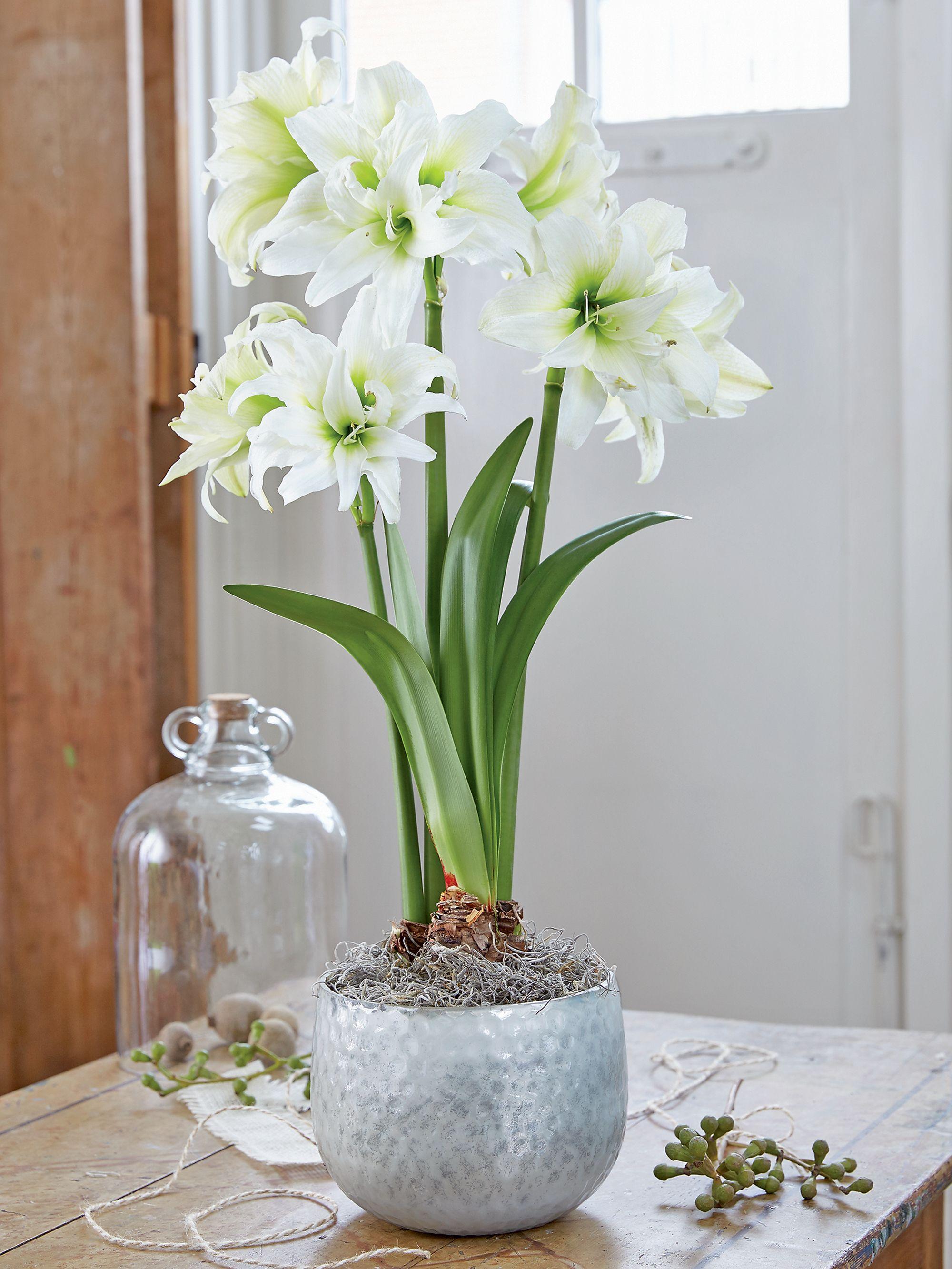 Ice Queen Potted Amaryllis Amaryllis Showy Flowers Amaryllis Bulbs