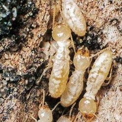 Lutter contre les termites prot ger et traiter son habitation astuces maison jardin - Astuce bricolage jardin ...