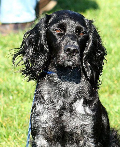 File Epagneul Bleu De Picardie Jpg Wikimedia Commons Australische Schaferhunde Hundefotos Australian Shepherd