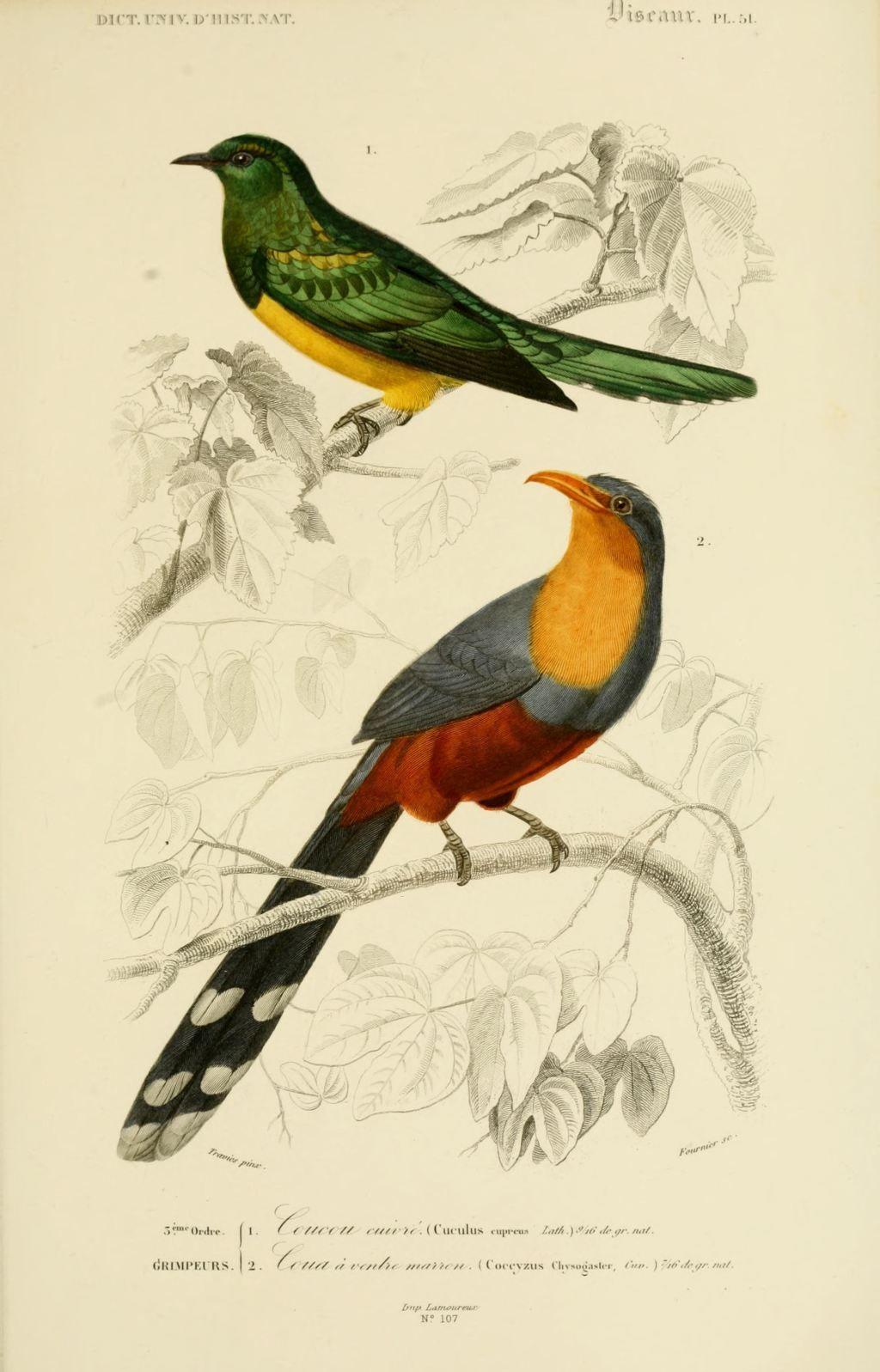 gravures couleur d 39 oiseaux gravure oiseau 0243 coucou cuivre cuculus cupreus passereau. Black Bedroom Furniture Sets. Home Design Ideas