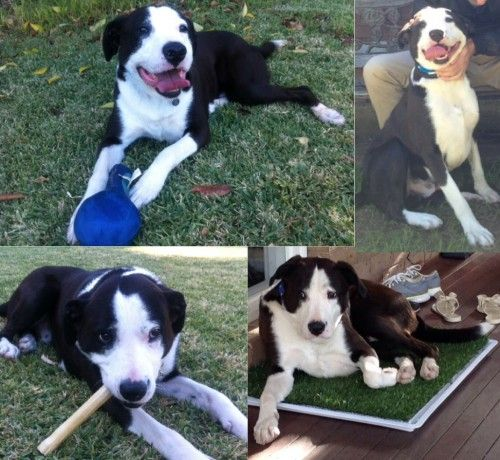 Reunited Black And White Border Collie X Dog Missing In