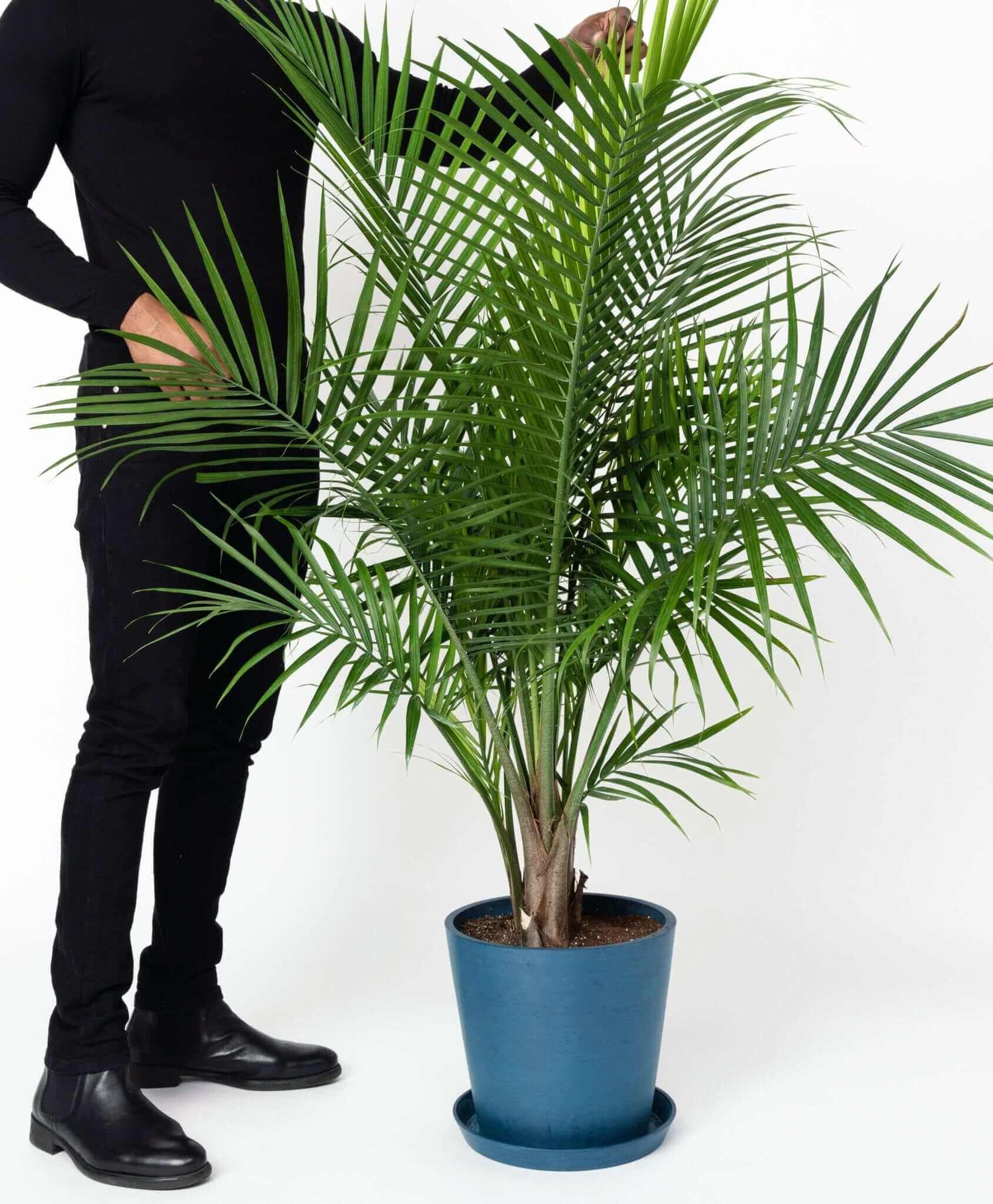 Extra Large Potted Majesty Palm 5