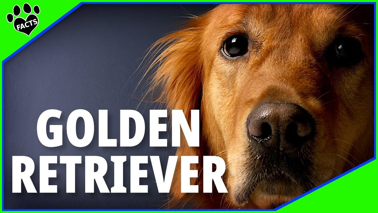 Golden Retriever Dogs 101 - Possibly ...