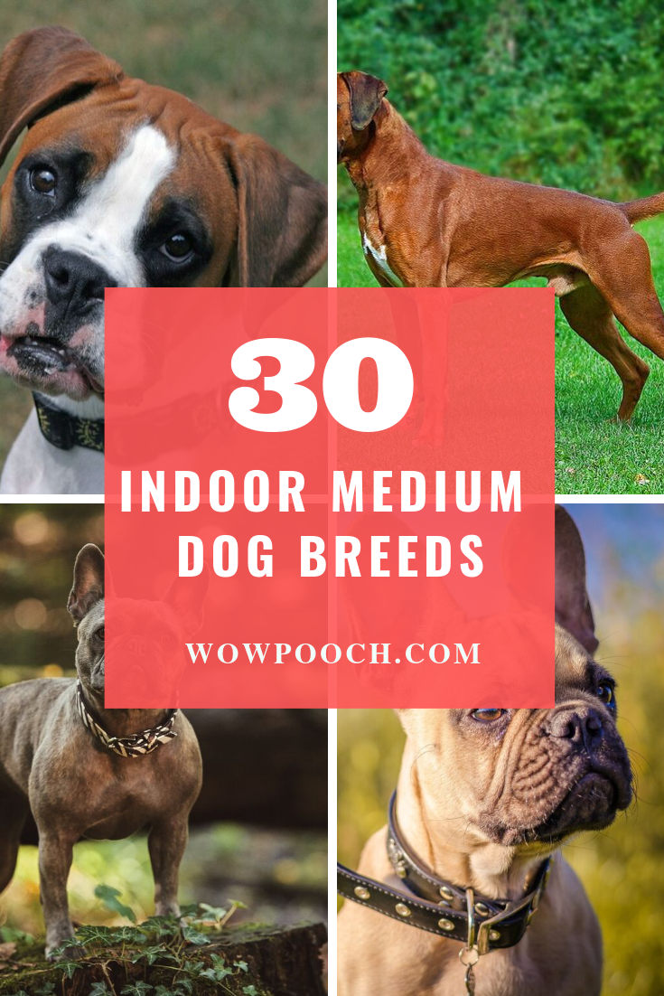 How Many Of You Want An Apartment Friendly Puppy Or Dog Maybe Almost Everyone Preference O Dog Breeds Medium Medium Sized Dogs Breeds Family Dogs Breeds