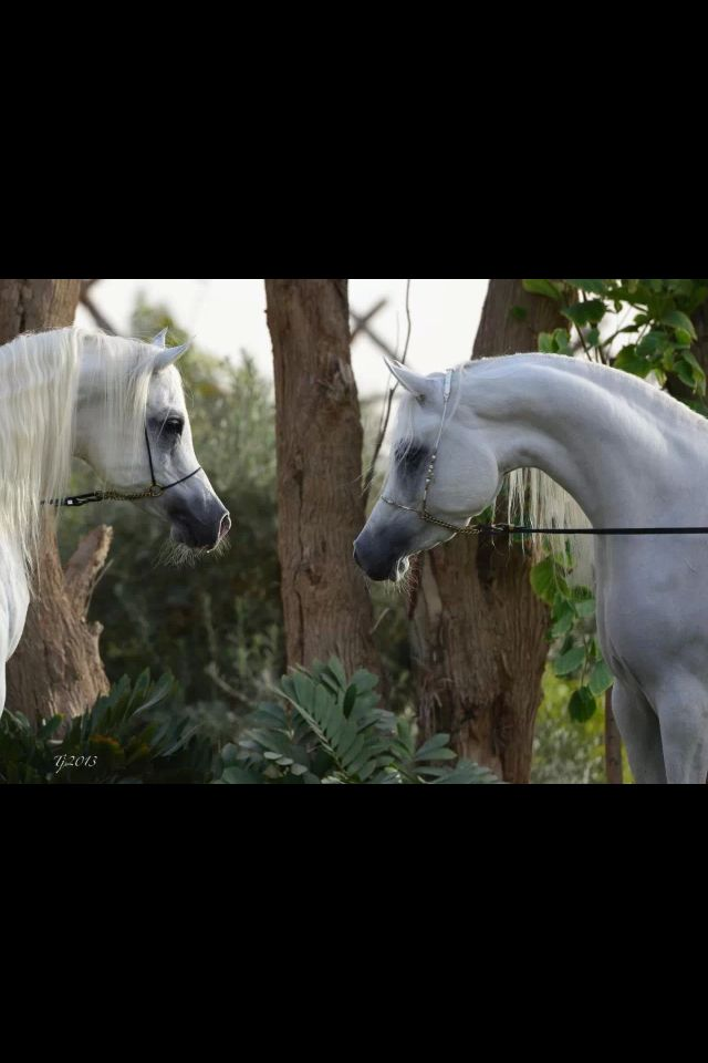 Gorgeous grey arabian greet in this arabian horse times or world gorgeous grey arabian greet in this arabian horse times or world cover m4hsunfo