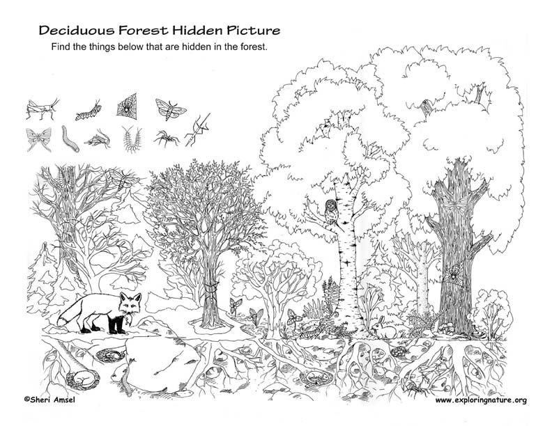 Deciduous forest hidden picture hidden pictures for Temperate forest coloring pages