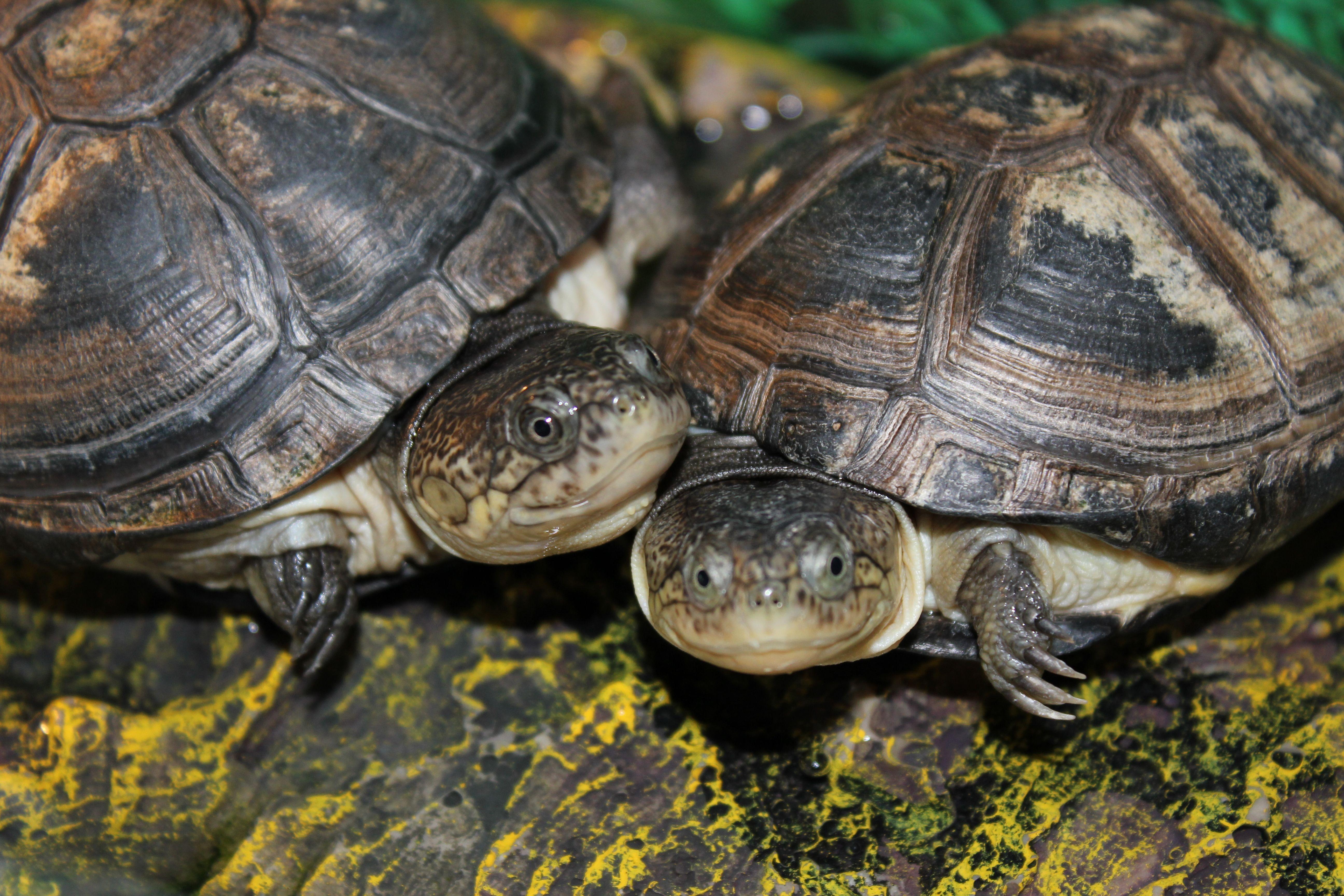 African Sideneck Aquatic Turtles look at those smiles
