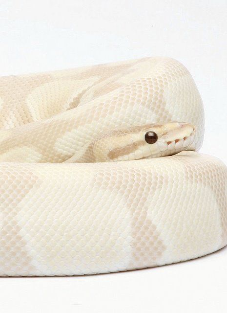 Lavender Ball Python.... A girlfriend for Quimbly?