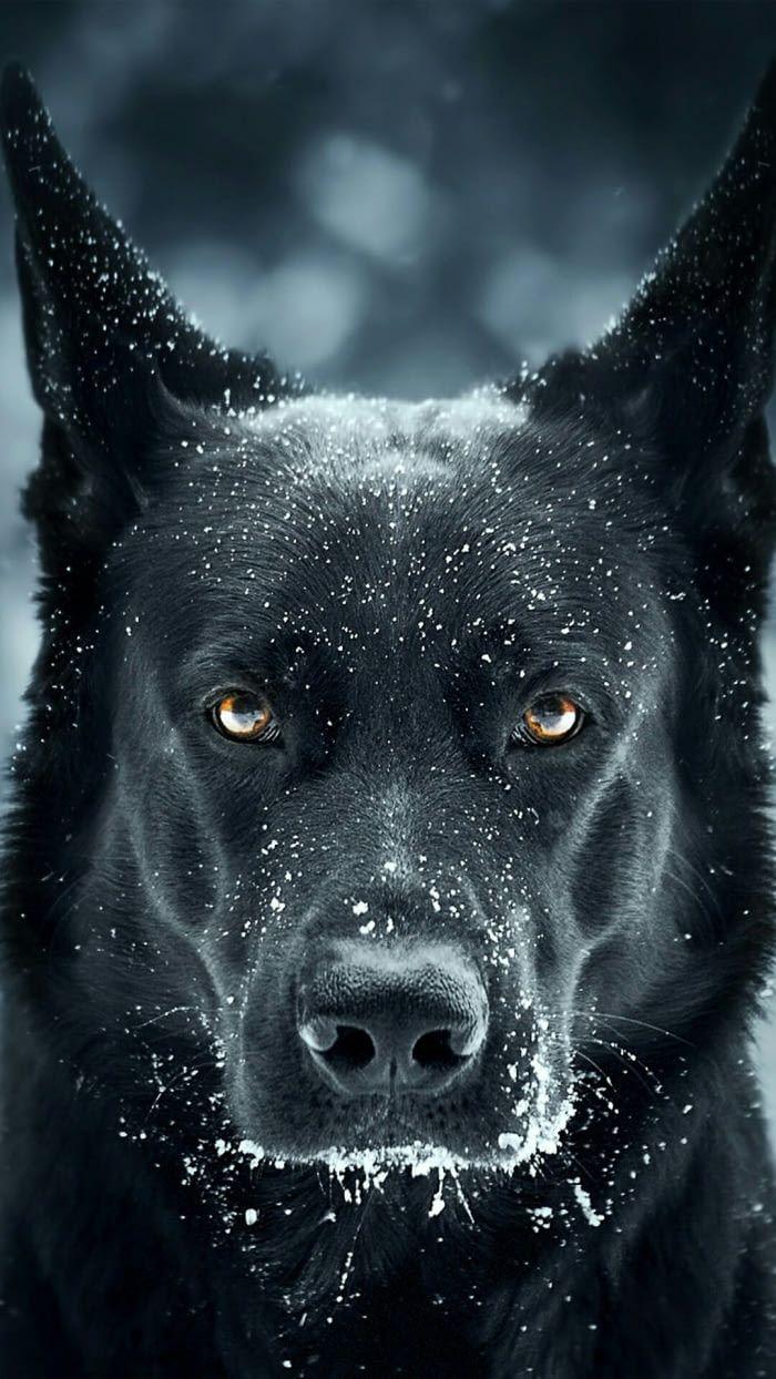 Pretty Dogggo Black German Shepherd Dog German Shepherd Dogs Black Dog