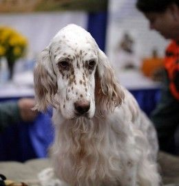 English Setters are great hunting dogs, and look good too.