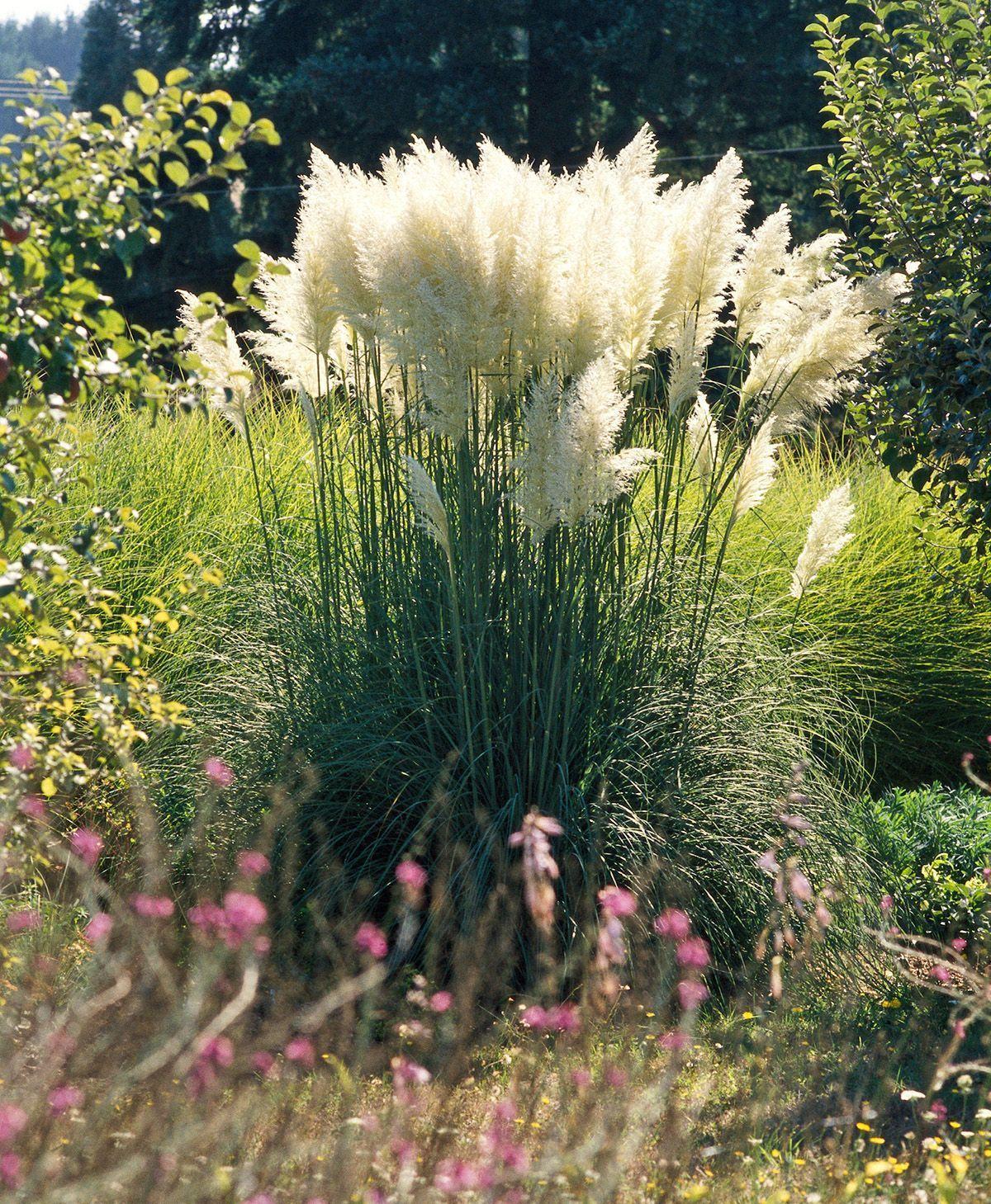 23 Varieties Of Ornamental Grasses We Re Obsessed With Dwarf Pampas Grass Grow 23 Varieti Ornamental Grasses Tall Grass Landscaping Grasses Landscaping