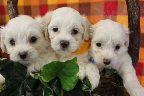 Cute Ckc Reg Male Cotonese Puppies Puppies Dogs Dogs And Puppies