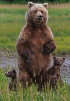 Maman ours et ses petits by Art WOLFE.
