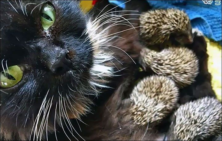 Cat Becomes New Mama To 8 Orphaned Hedgehog Babies Baby Hedgehog