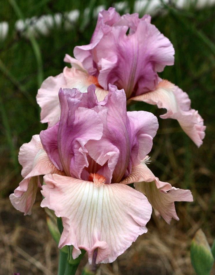 TB Iris germanica 'Spring Tidings' (Shoop, 1989)