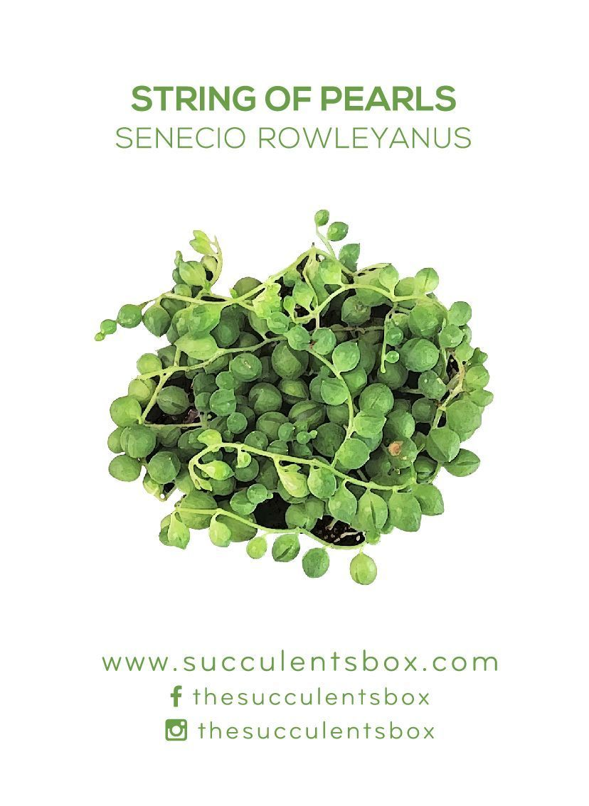 String of pearls succulents pinterest succulents plants and