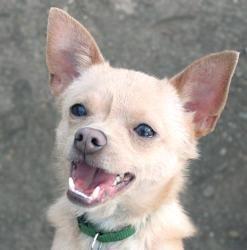 Adopt Aramis Dfw On Chihuahua Dogs Chihuahua Rescue Chihuahua