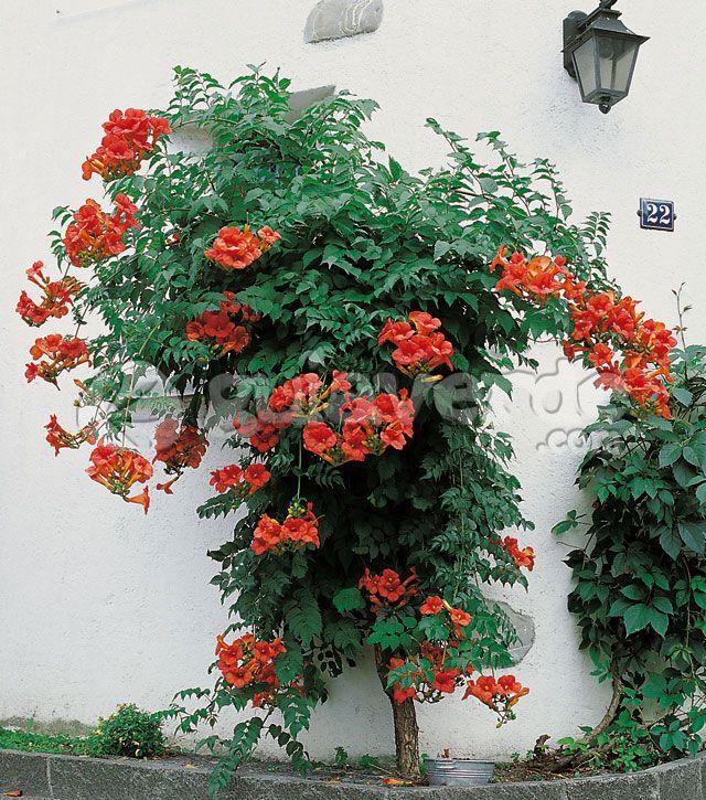 Bignonia grandiflora trepadora de hoja caduca sensible al for Arbustos de hoja perenne resistentes al frio