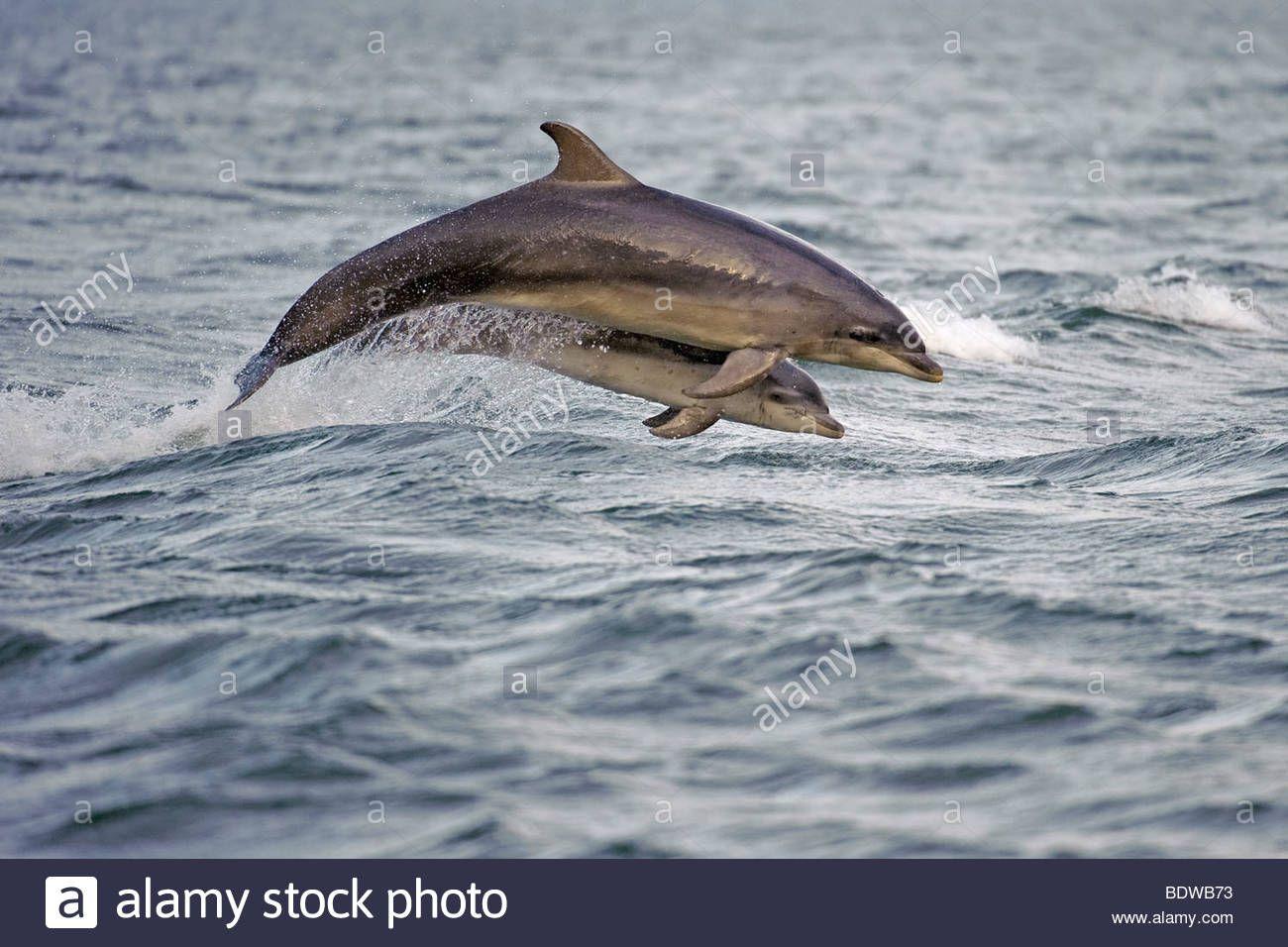 Bottlenose Dolphin Tursiops Truncatus Mother And Calf Breaching
