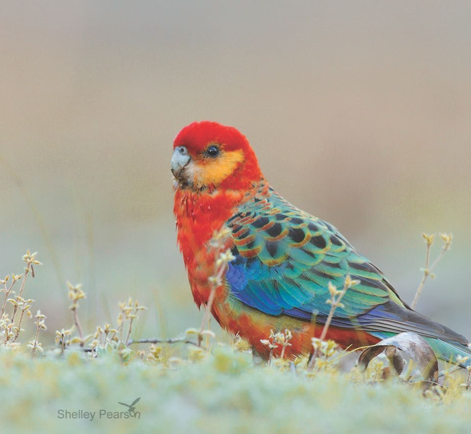 Western Rosella South Of Perth Australia With Images Pet Birds Beautiful Birds Australian Birds