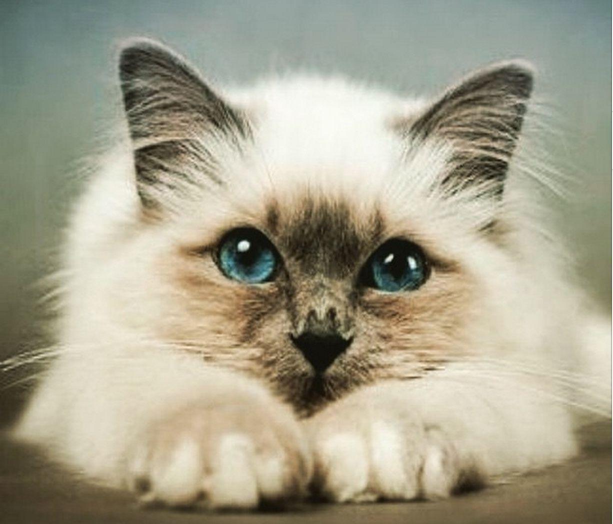 Blueeyed Beauty 28th May 2015 Cat diarrhea, Birman
