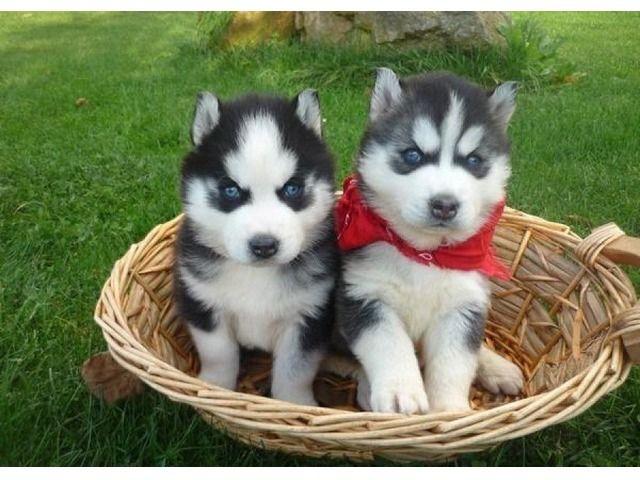 2 Chunky Siberian Husky Puppies Husky Puppy Baby Siberian Husky