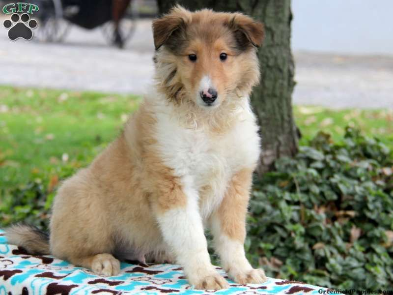 Louie Collie Puppy For Sale In Pennsylvania Collie Puppies