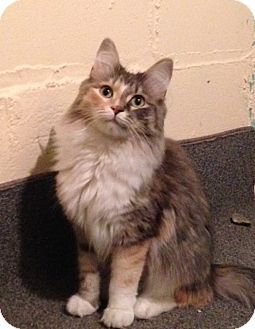 Calico Cat For Adoption In St Paul Minnesota Peanut Adopted From Feline Rescue