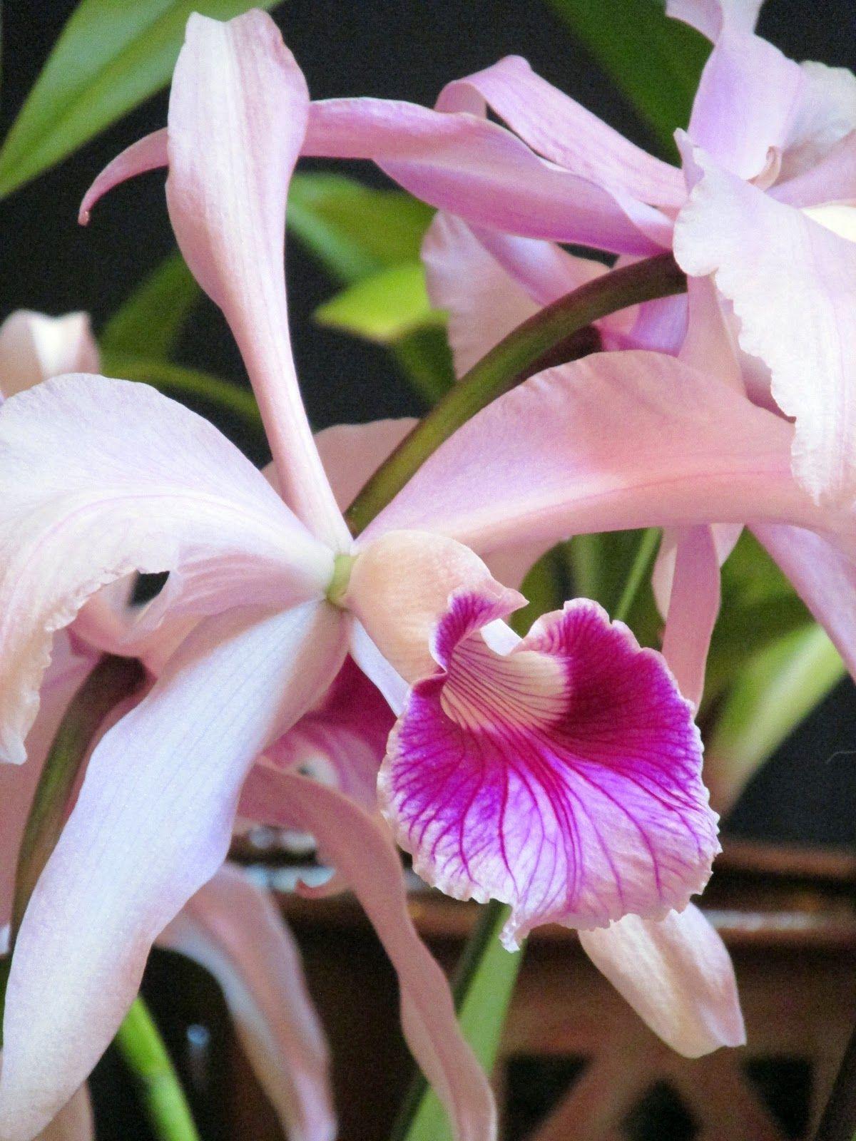 Blue orchid plants for sale laelia purpurata orchid