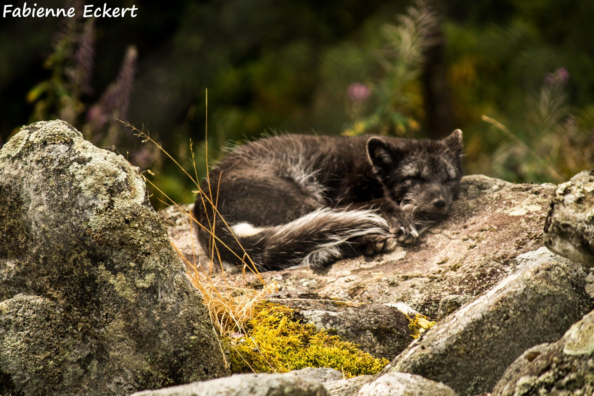 Are you sleeping...? Polar fox in the summer taking a
