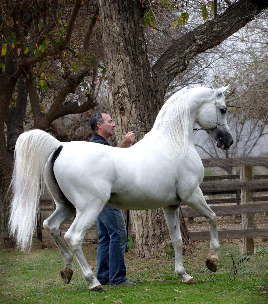 Ecaho Haras De Cardenas Horses Beautiful Arabian Horses Most Beautiful Horses