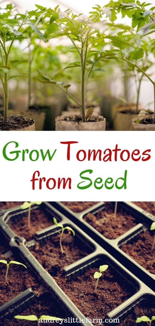 How to Grow Tomatoes in Pots from Seed #howtogrowplants