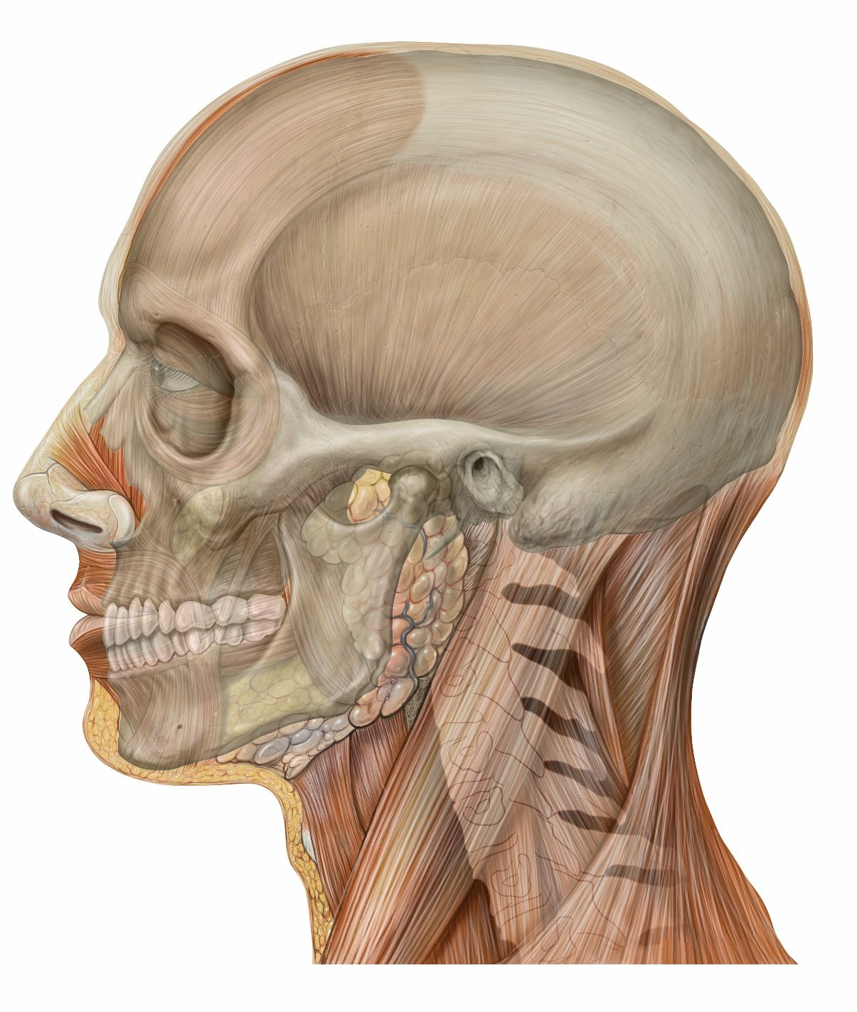 Head Lateral Skull Reference Board Anatomy Head Anatomy Skull