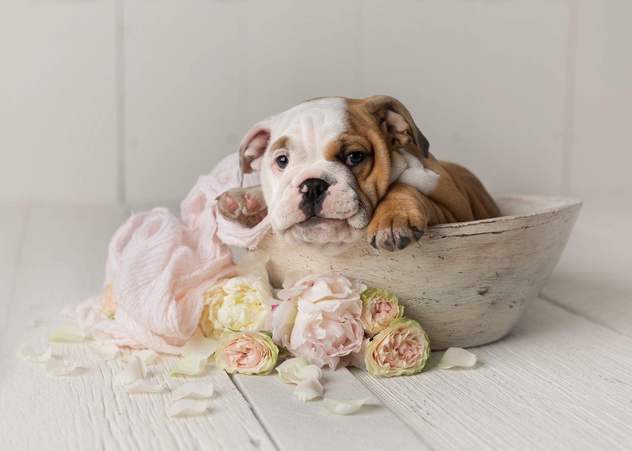 Newborn Bulldog Flowers Jpg Lovely Newborn Bulldog Puppy Studio