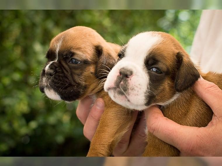 Boxer Puppy For Sell Now 500 Boxer Puppies For Sale Boxer