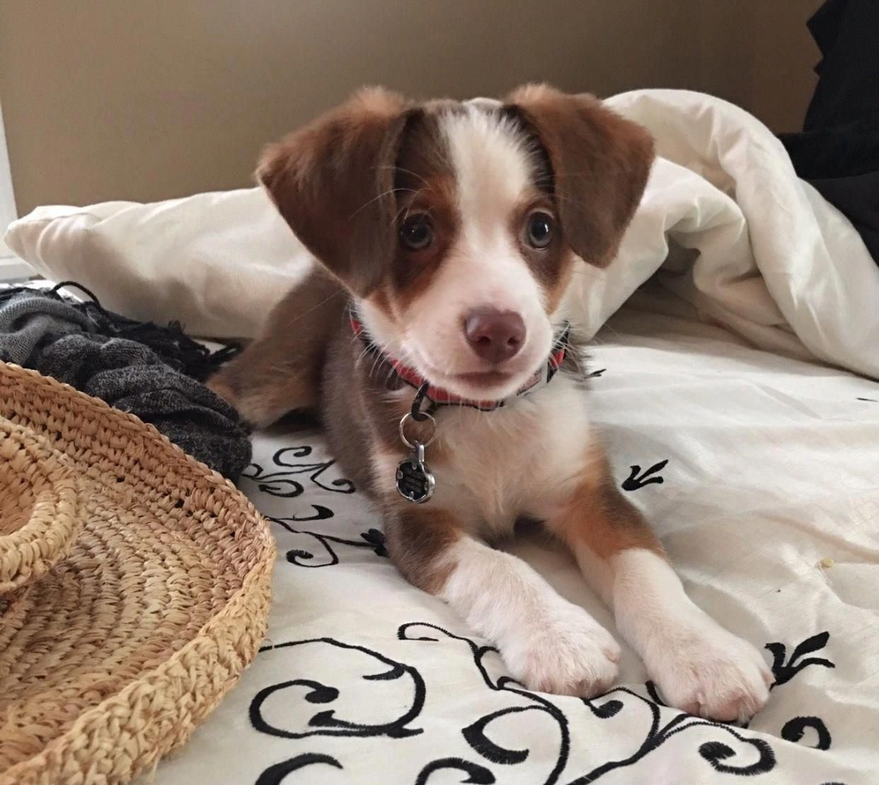Everything We All Adore About The Aussie Pups Australianshepherdpuppies Australianshepherdlabmix Australian Shepherd Australian Shepherd Puppies Beagle Dog