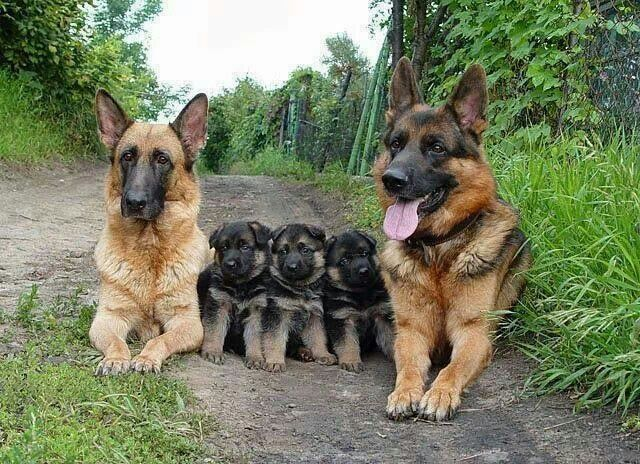German Shephard Family Of Puppies Mom And Dad Dogs Pets