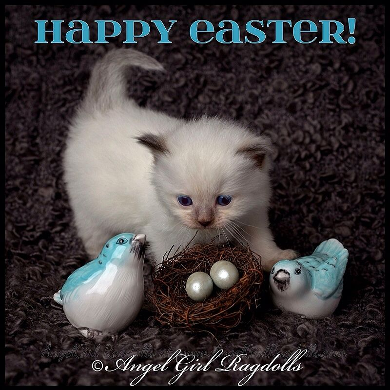 Happy Easter! (From Blue Colorpoint Ragdoll, Phoenix