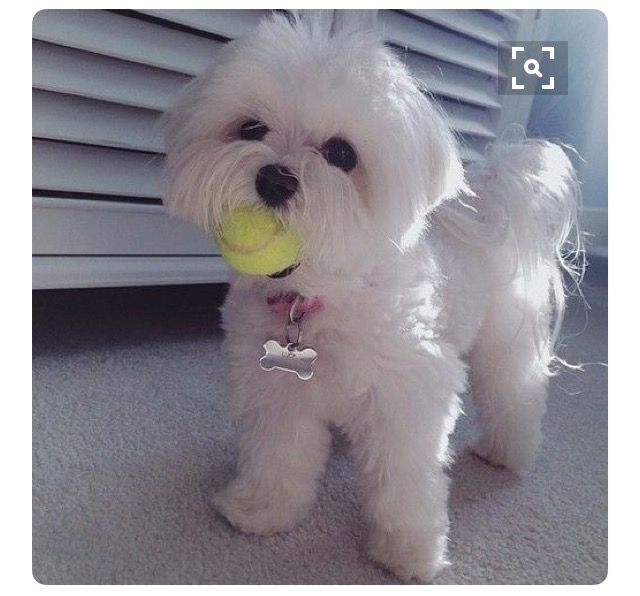 Tennis Anyone Boutique Chic Maltese Puppy Maltese Dogs