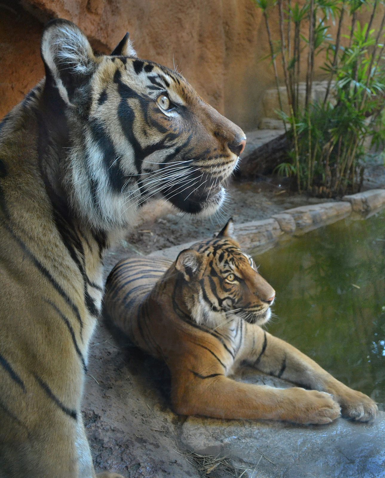 Tiger lounge Tiger love, Tiger facts, Beautiful cats