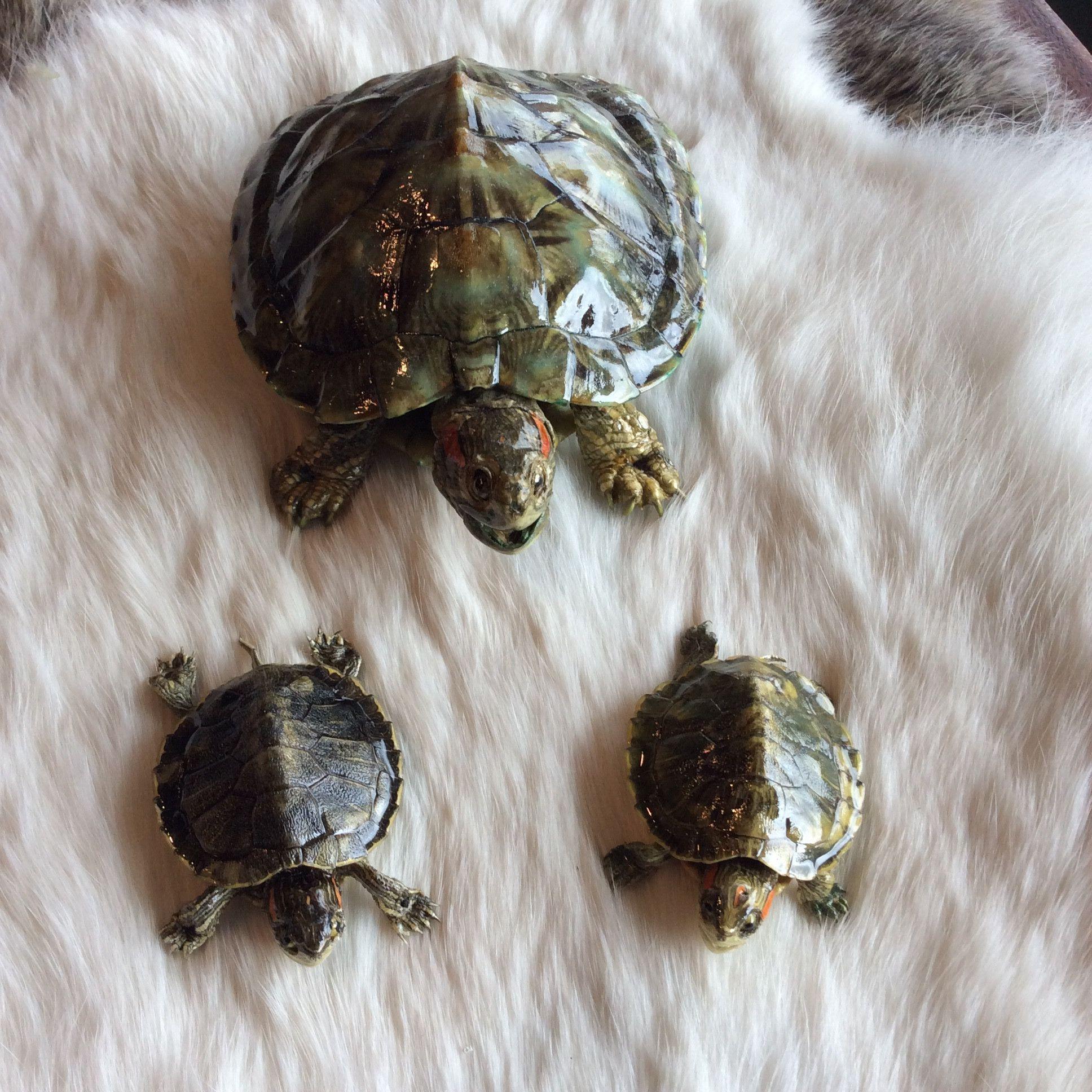 Freeze Dried Turtle Mediim