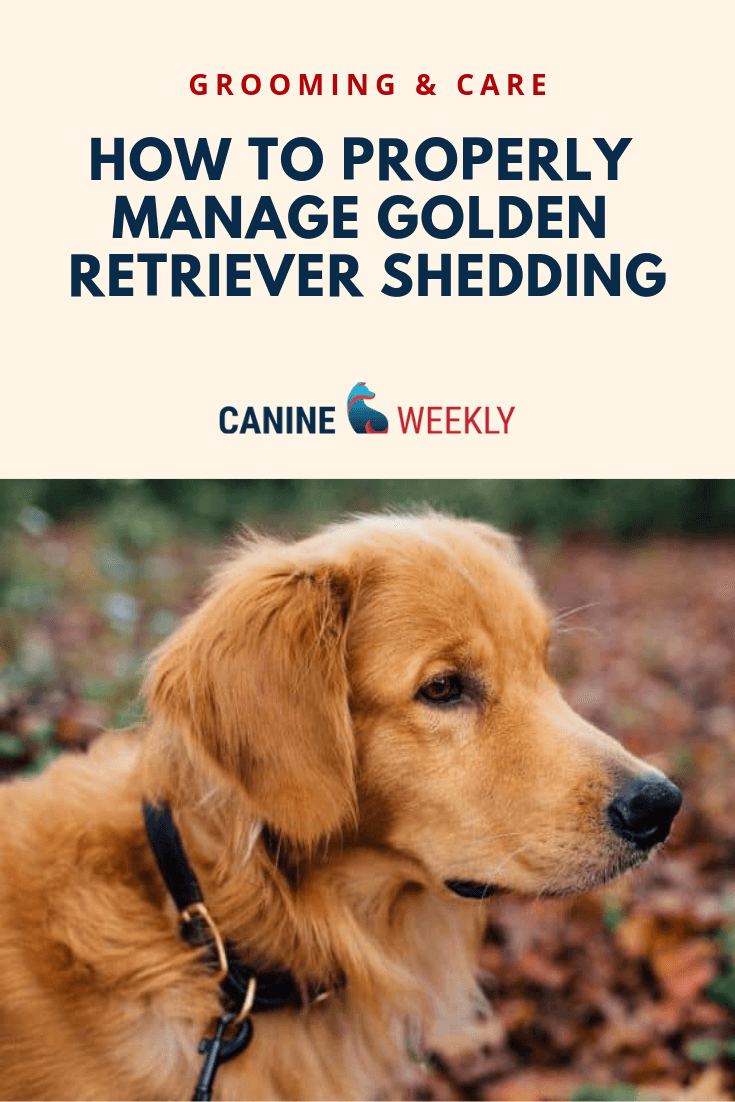 How To Properly Manage Golden Retriever Shedding Find Out In This Post You Can Easily Manage Golden Retriever Hair Dropping Golden Retriever Retriever Canine