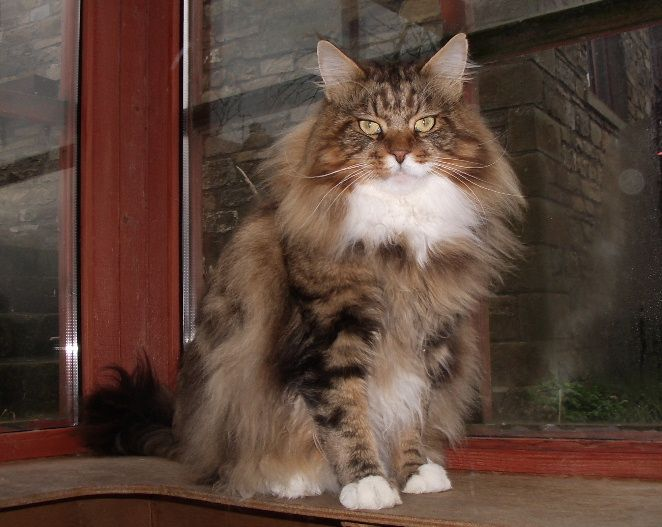 Maine coons across the pond gatitos pinterest for Koi pond maine coon cattery